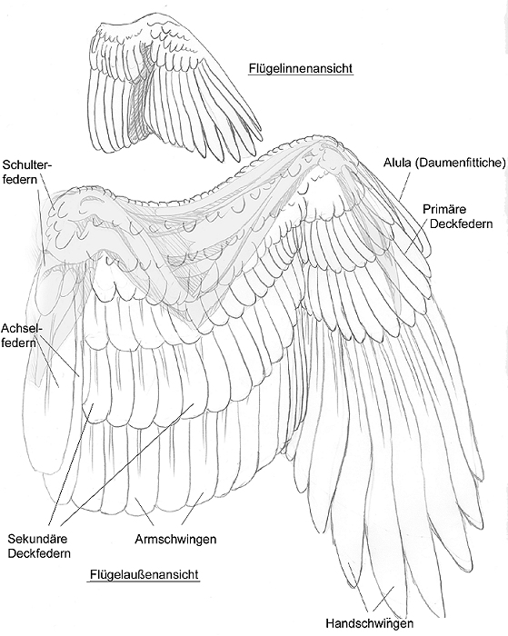 Berühmt Vogel Flügel Feder Anatomie Ideen - Anatomie Von ...