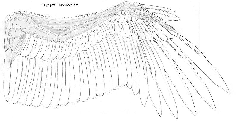 Die Feder-Galerie - Tutorium Flügel zeichnen, Teil 1 ~