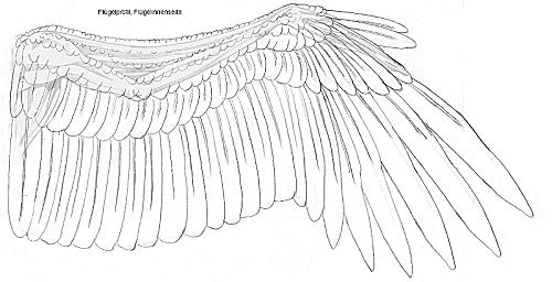 Beste Vogel Flügel Anatomie Galerie - Anatomie Von Menschlichen ...